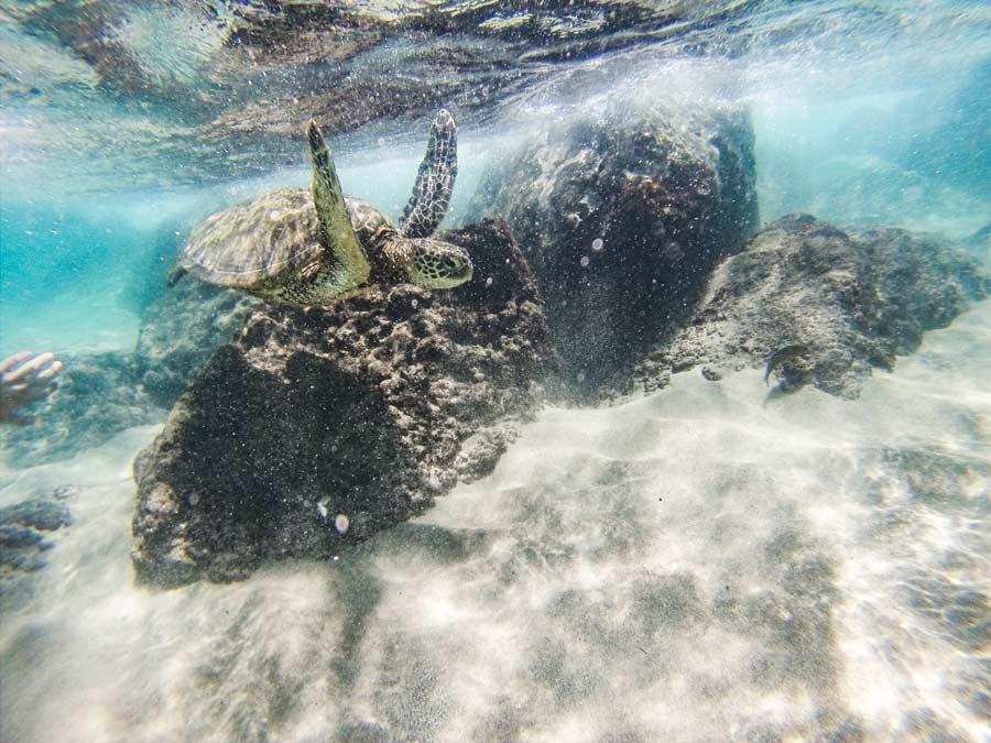 Maui, Hawaii Green Sea Turtle in swimming by.