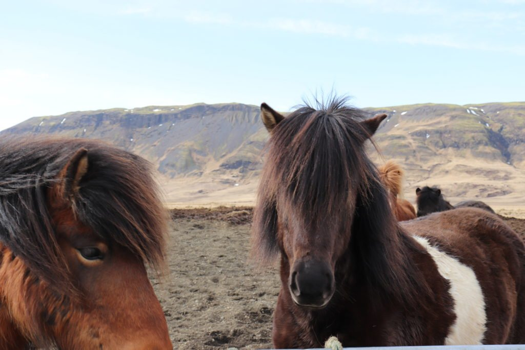 Iceland travel tips is to see icelandic horses when you drive the golden circle