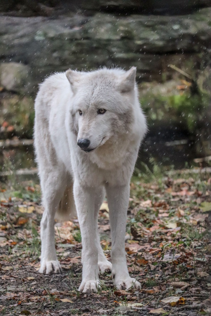 visiting the lakota wolf preserve white wolf