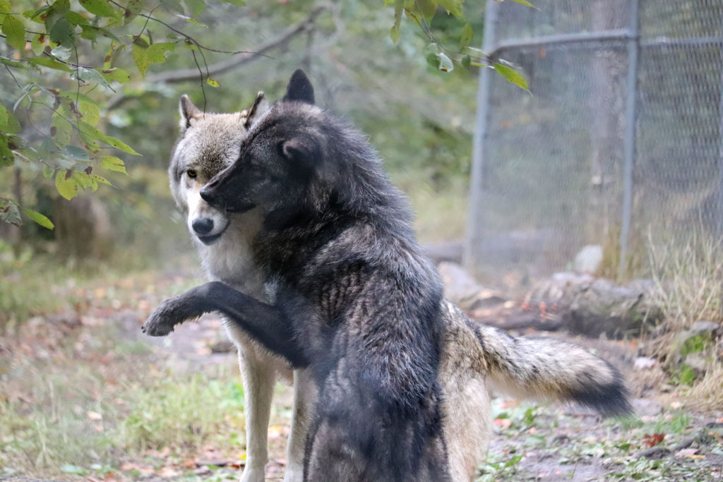 Arctic wolves playing
