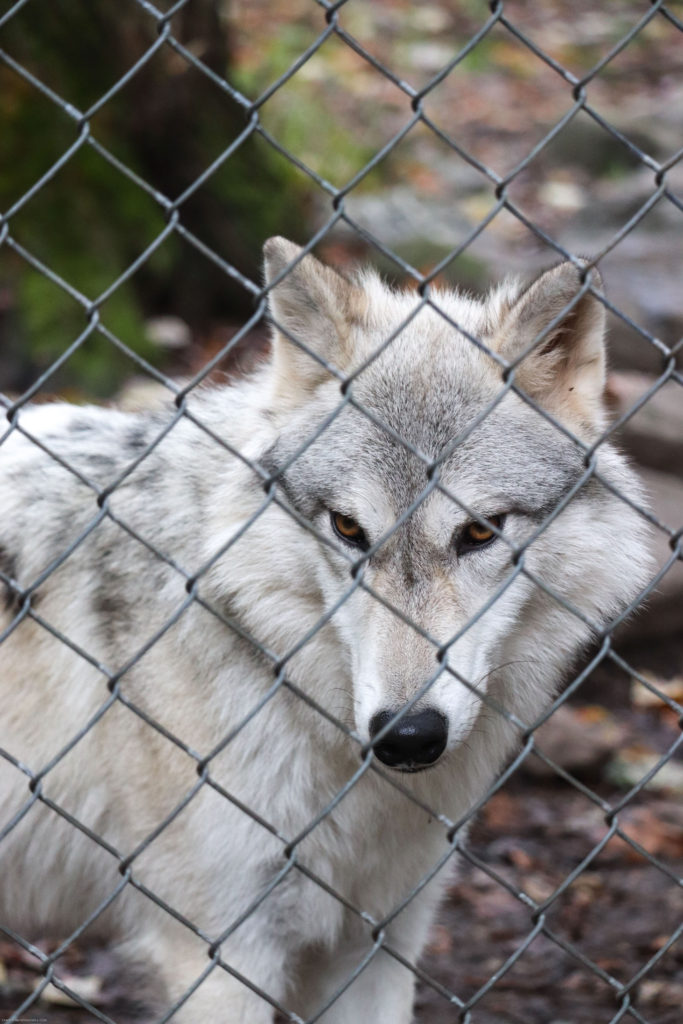 visiting the Lakota Wolf Preserve