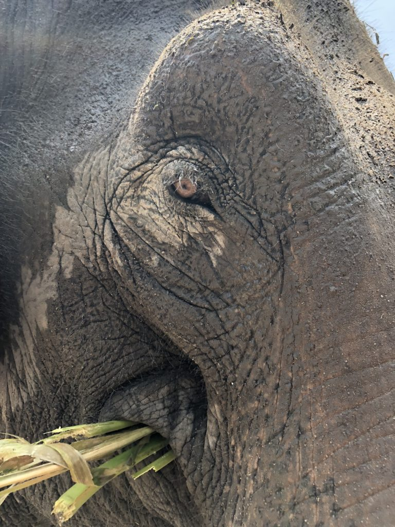 elephant close up of eye while volunteering in thailand