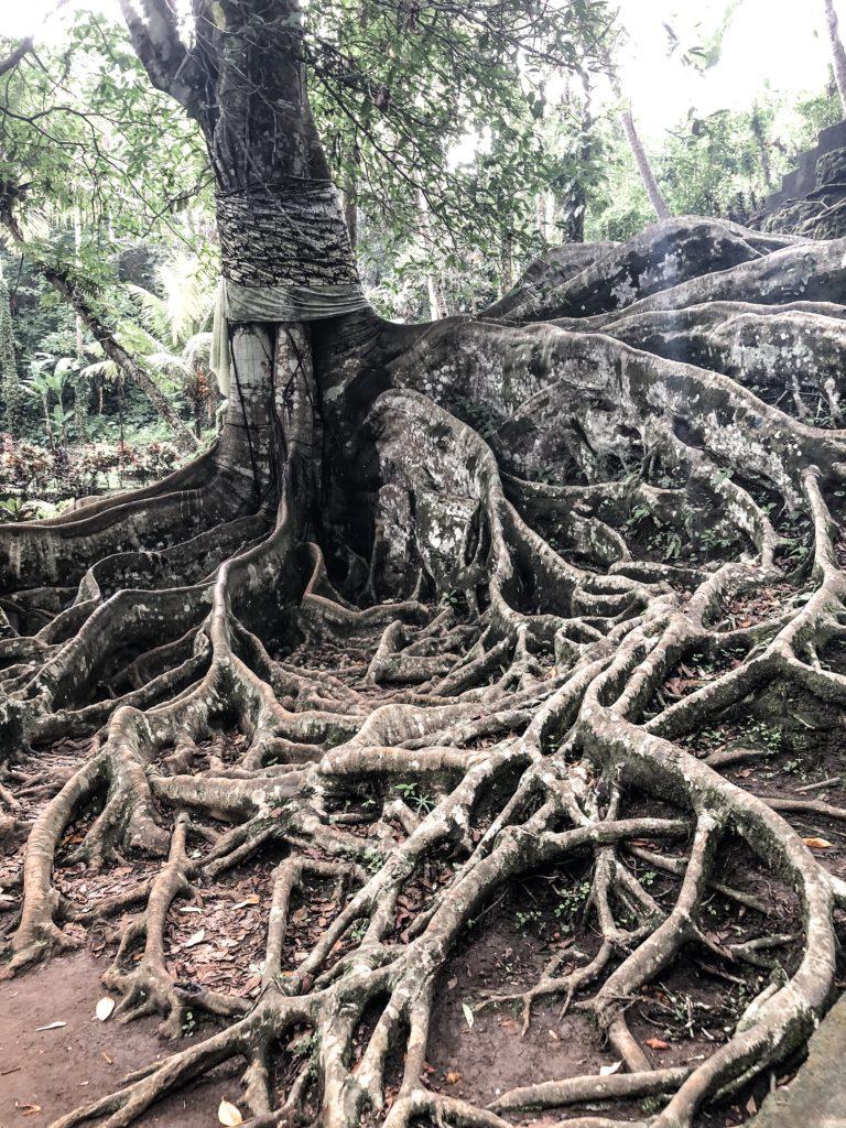 Goa Gajah large tree in garden