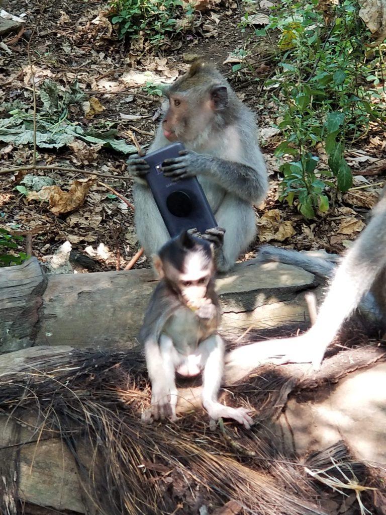 Monkey eating somones phone in ubud