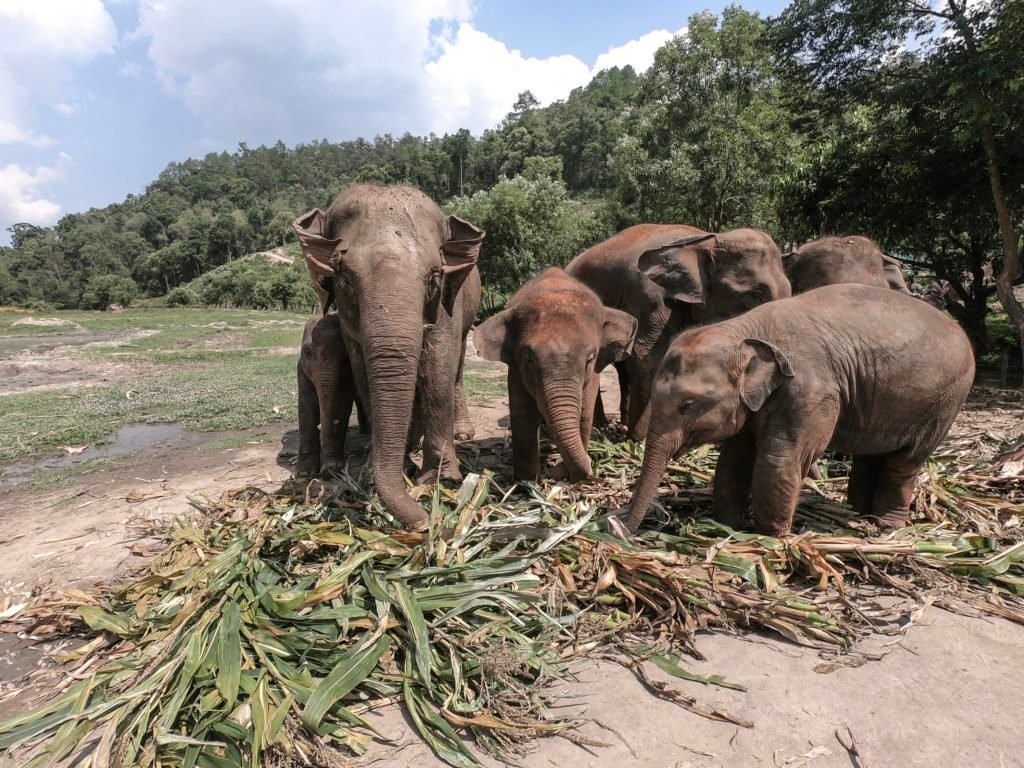 Asian elephants eating at Elephant Jungle Sanctuary while volunteering with elephants in Thailand