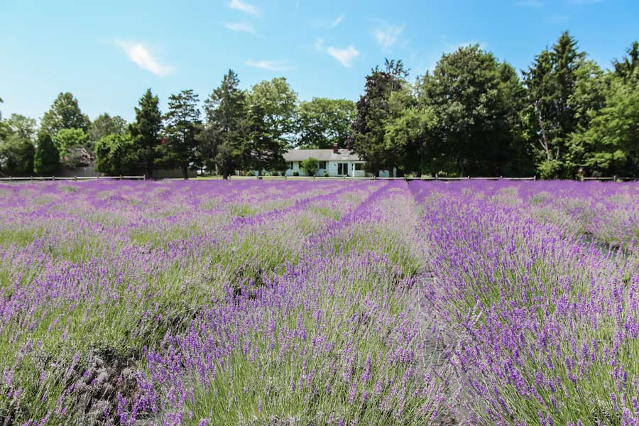 Lavender fields on Long Island, New York at Lavender by the Bay