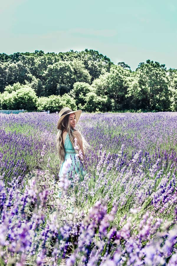 In the Lavender Fields at Lavender by the Bay in Long Island New York.