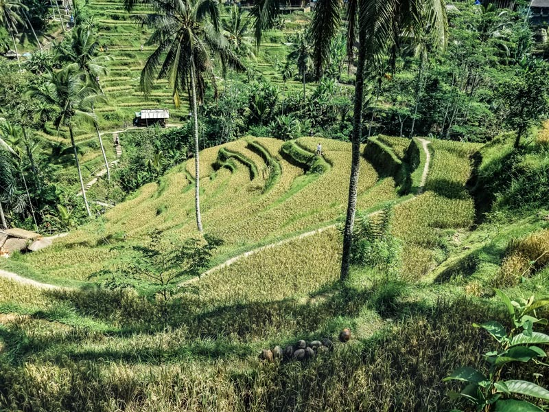 The Rice Paddies in the city of Ubud, Bali should be on everyones bucket list