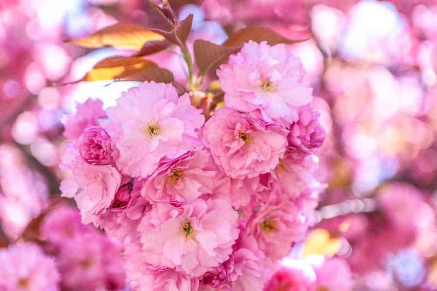 Cherry Blossoms at Brooklyn Botanical Garden