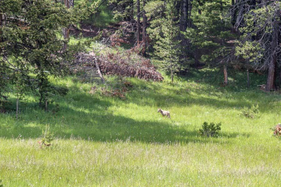 Coyote in Haydens Valley