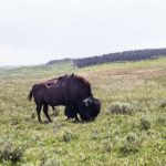 Add Hayden Valley to your Yellowstone Itinerary to see Buffalo