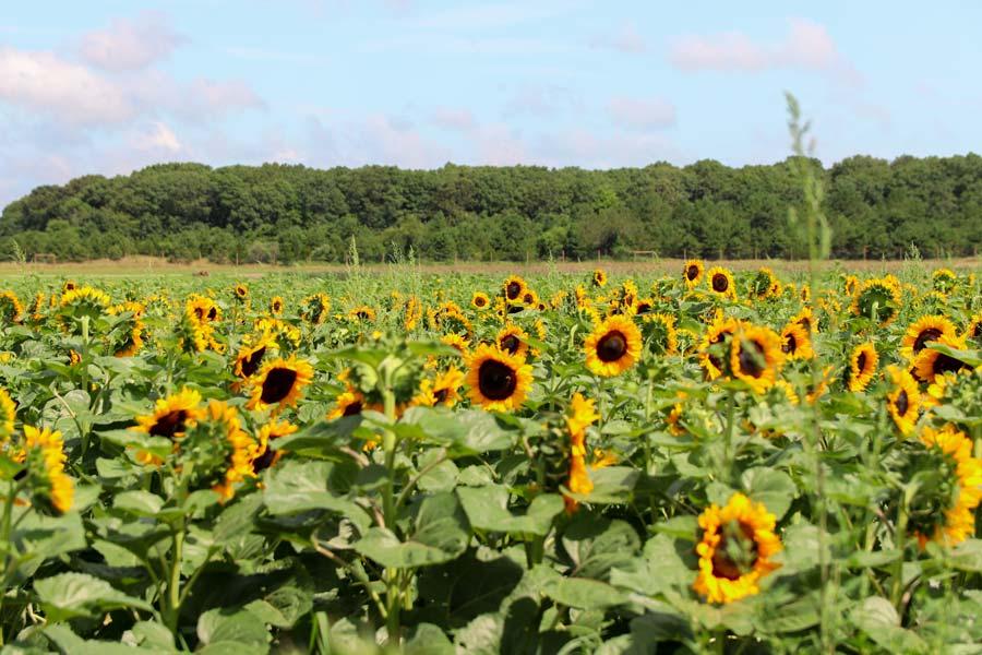 View of Waterdrinker Sunflower fields in Long Island