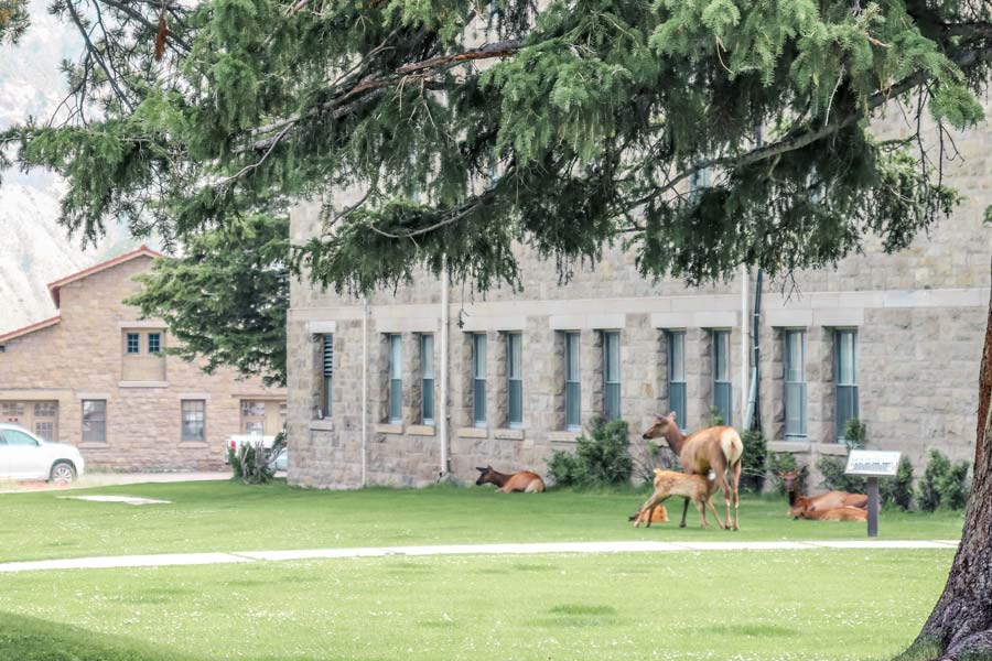 Elk in front of the Albright Visitors Center