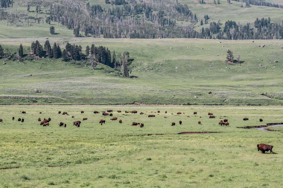 Larmar Valley is a must on your Yellowstone Itinerary for lots of wildlife