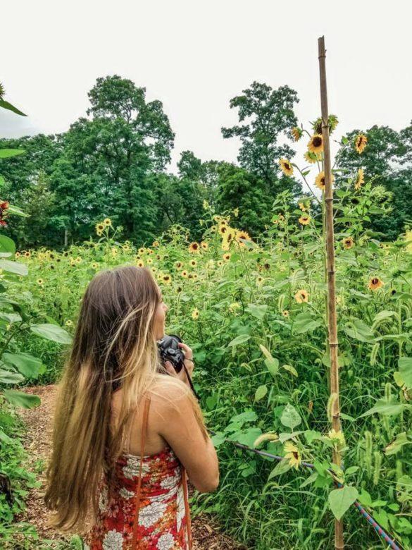 Long Island Sunflower Maze