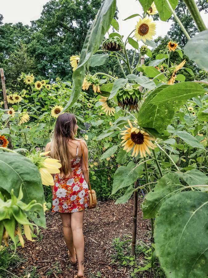 Inside the Manor Farm Sunflower Maze