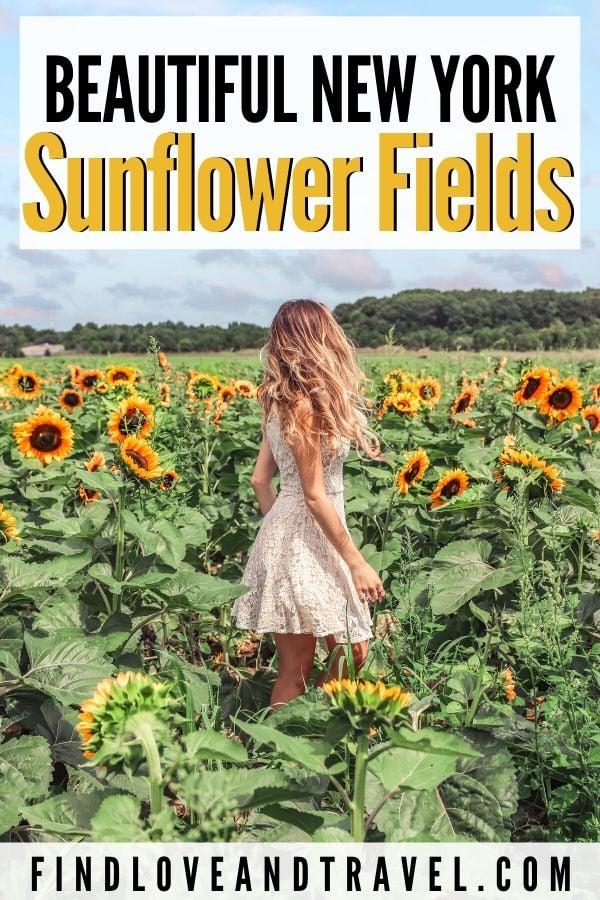 Sunflower Fields in Long Island, New York