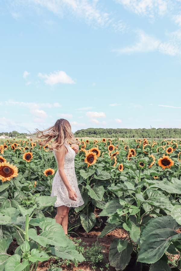 Sunflower Fields on Long Island NY