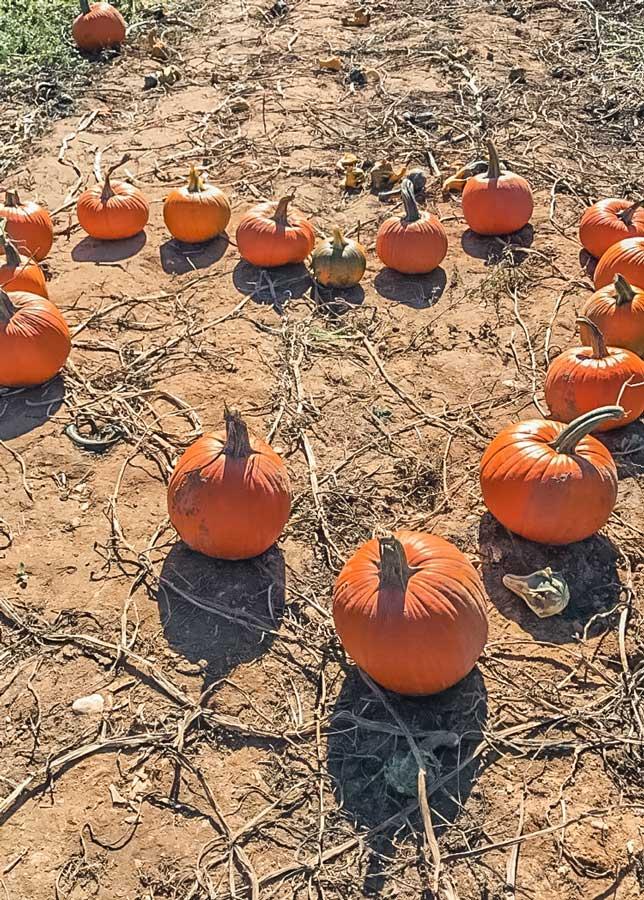 Pumpkins at Lewin Farm