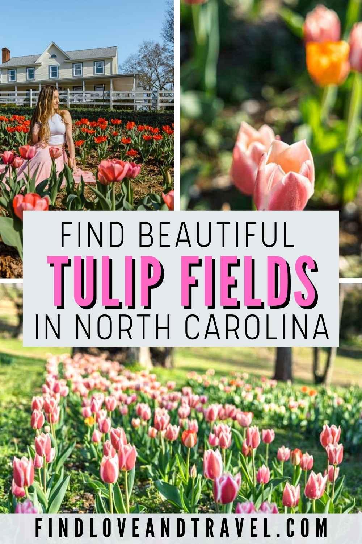 Tulip Fields in NC at Dewberry Farm