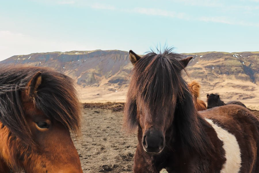 Iceland horses on the golden circle