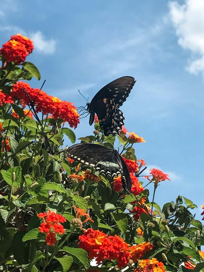 Butterflies at the Planting field garden on Long Island.