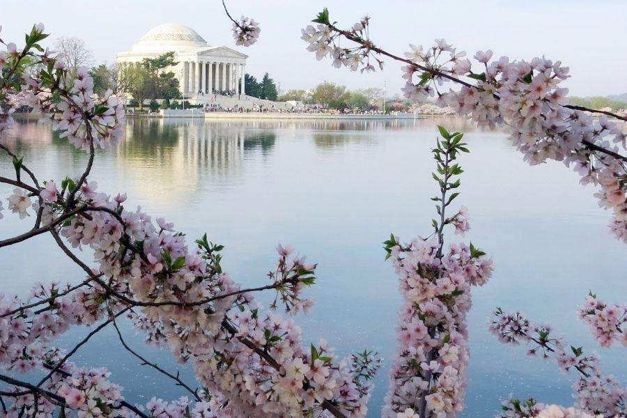 Cherry Blossoms and the Thomas Jefferson Memorial across the Tidal Basin in Washington, DC.