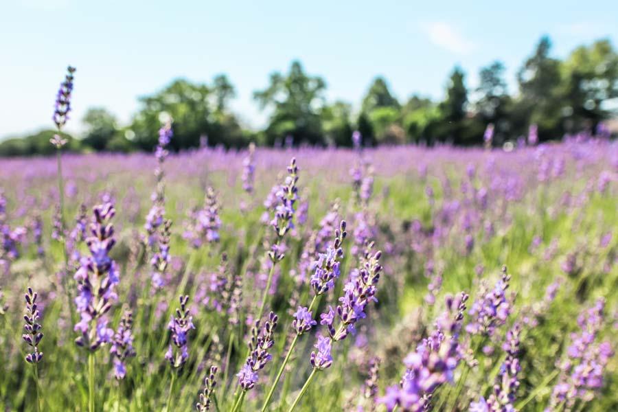 Lavender farms in North Carolina