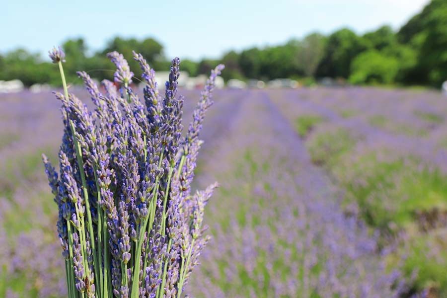 Bunch of lavender in a lavender field.
