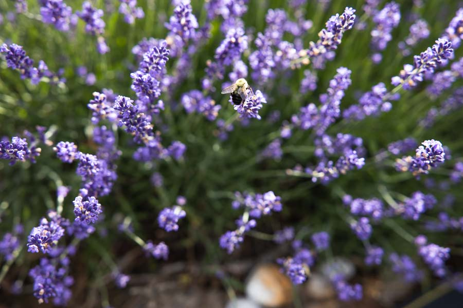 Lavender flowers close up with bumble bee.