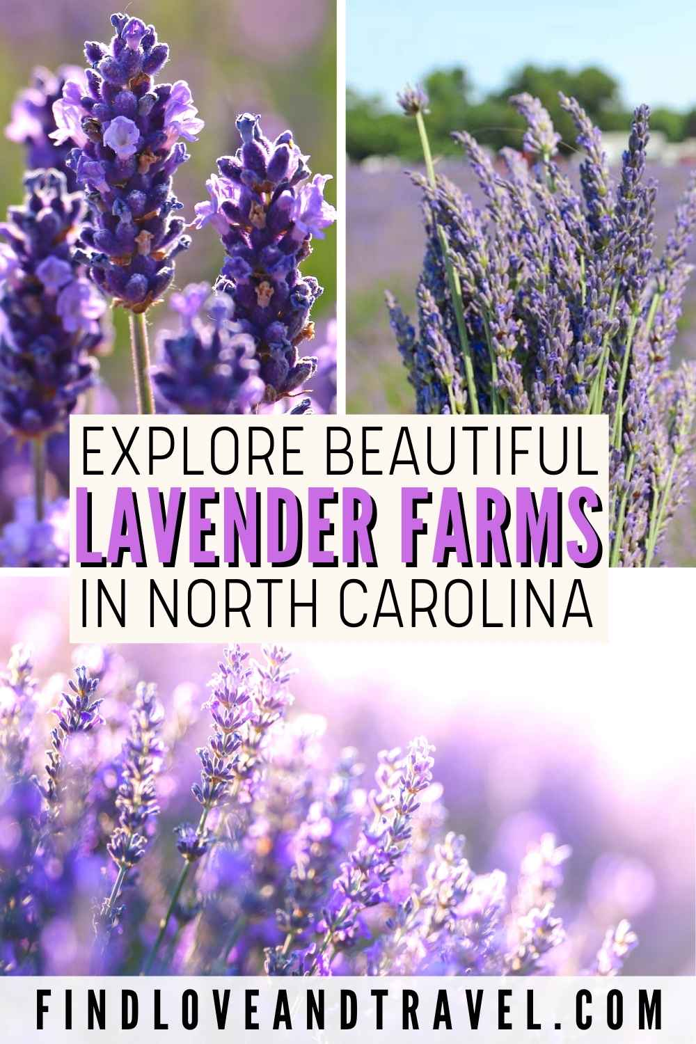 Lavender Farms in NC you need to visit this summer!