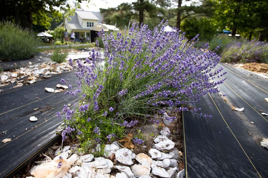 Lavender plants at Sunshine Lavender Farm in NC