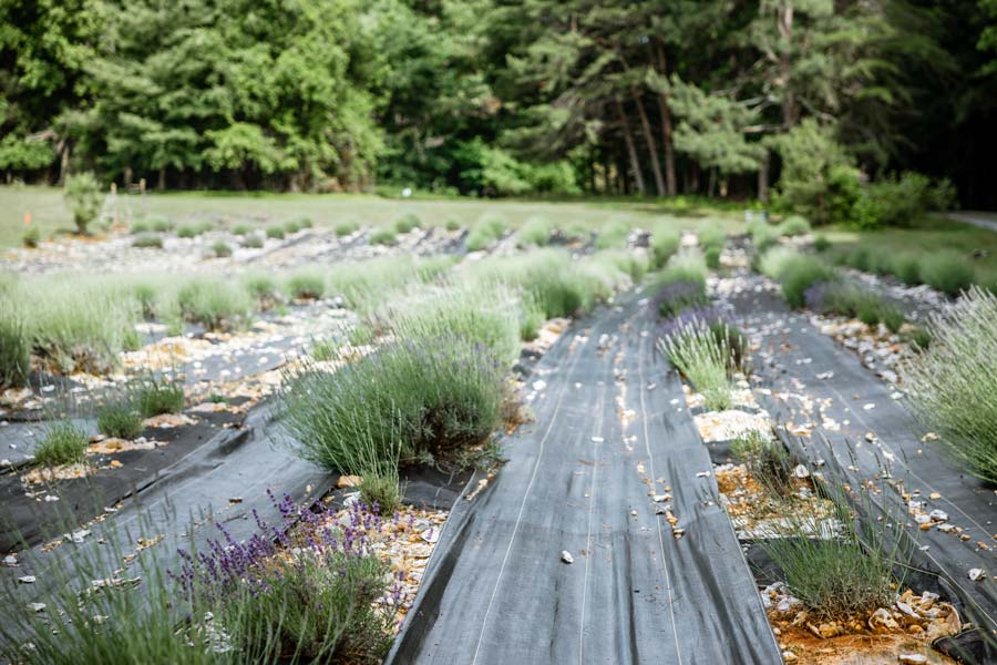 Lavender Field at Sunshine Lavender Farm NC