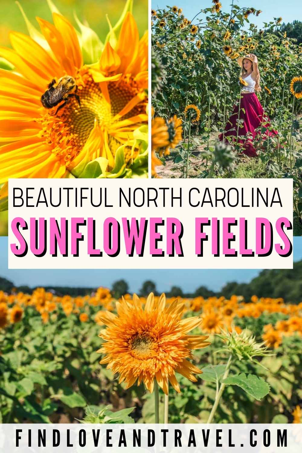 Beautiful Sunflower Patches in NC