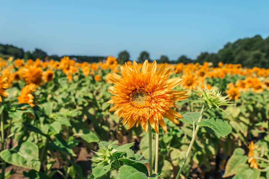 Sunflower Fields at Hill Ridge Farm in NC