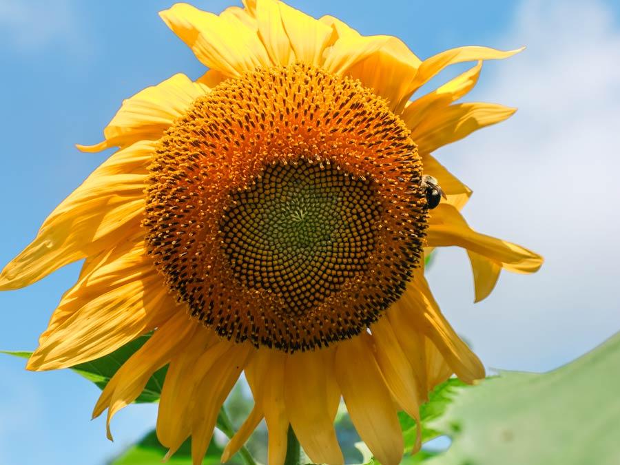 Sunflower Fields in NC. Close-up of Sunflower at Hill Ridge Farm