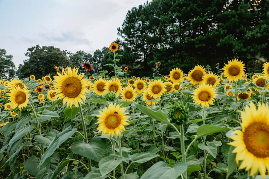 Sunflower Fields in NC at Dix Park in Raleigh