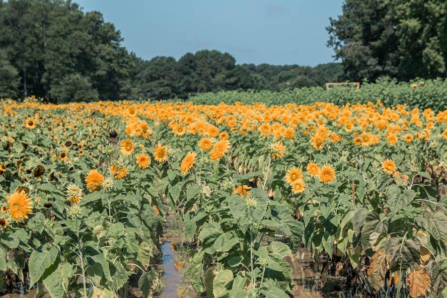 Sunflower Patch in North Carolina at Hill Ridge Farms