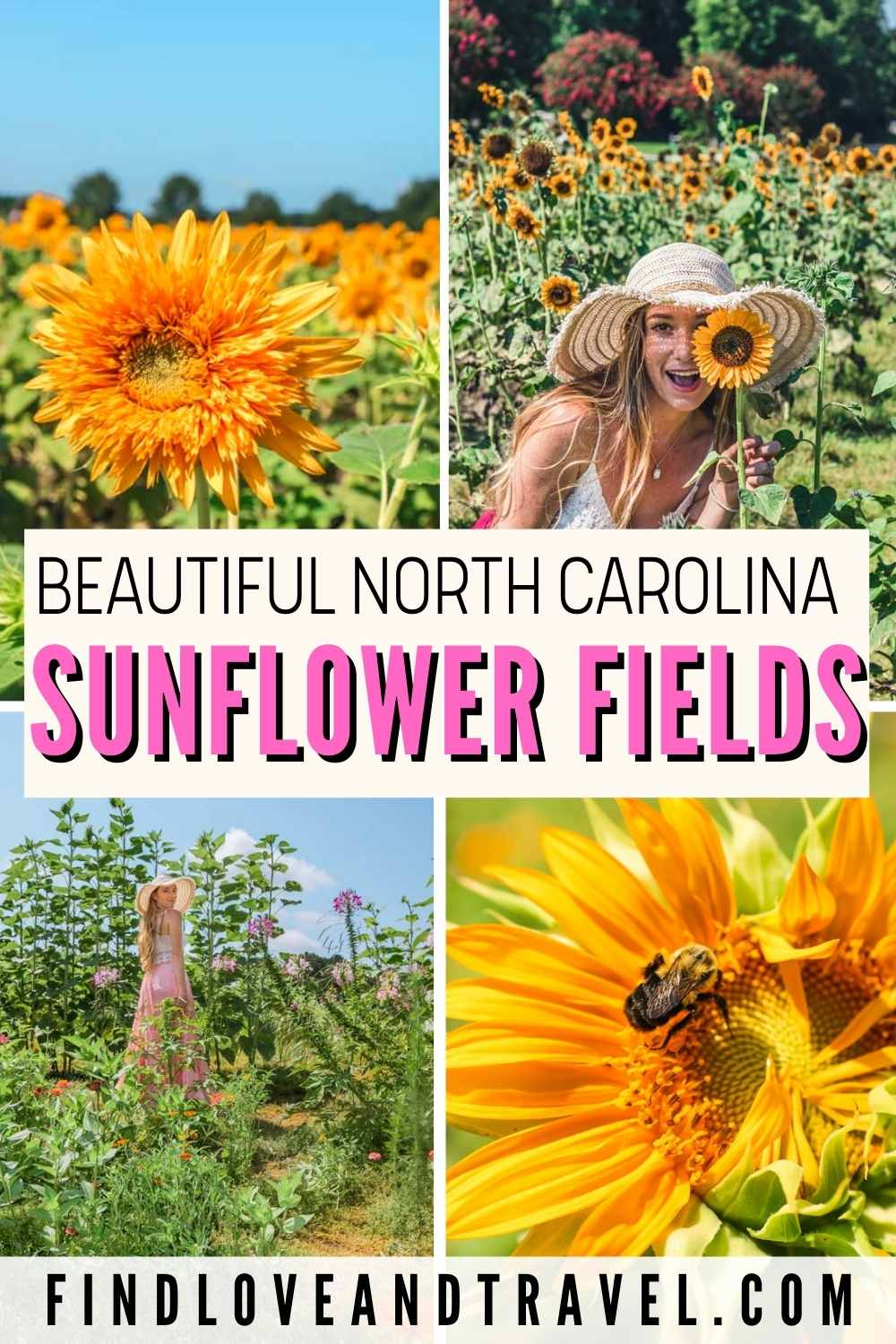 Sunflower Fields in NC you need to visit!