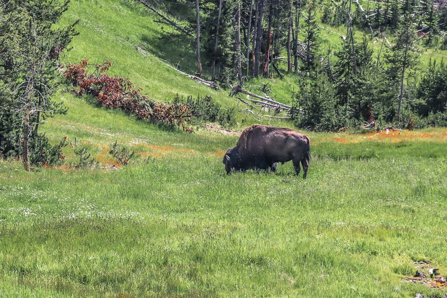 Watching out for buffalo is an important yellowstone tips