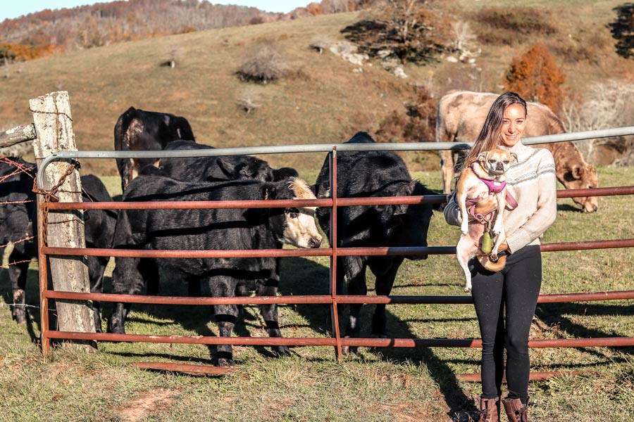 Fall in Boone, NC on the Blue Ridge Parkway. Woman holding small dog standing in front of 3 cows.
