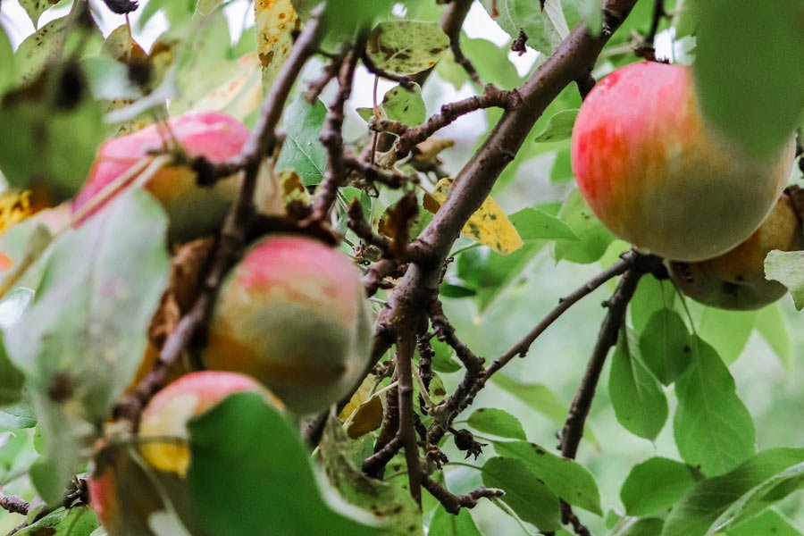 apple picking tree close up of apples