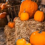 Pumpkin picking by Raleigh at Avent Ferry farms. Close up pumkpins stacked on hay bales.