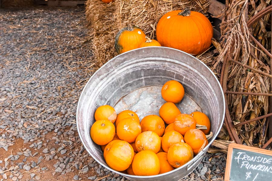 pumpkin dispay with mini pumpkins in a steel bucket and hay bales
